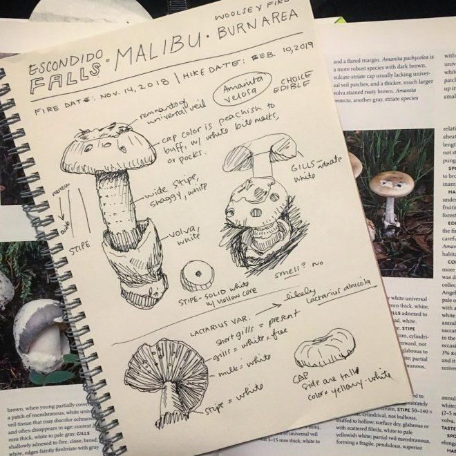 Post mushroom-hike drawings to determine mushroom IDs